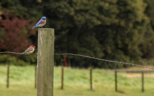 bluebird, finch, fence