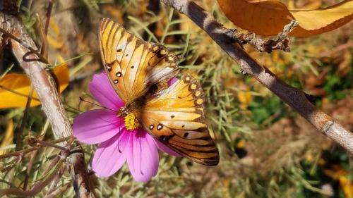 butterfly, cosmos, nectarine leaves